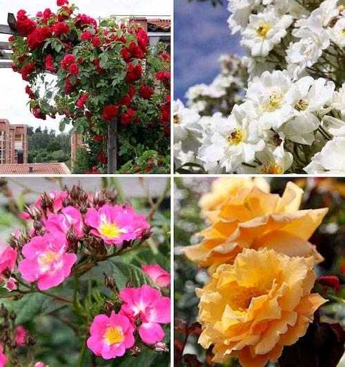 Röd, vit, rosa eller gul – rosor finns i de flesta nyanser utom svart och blått.