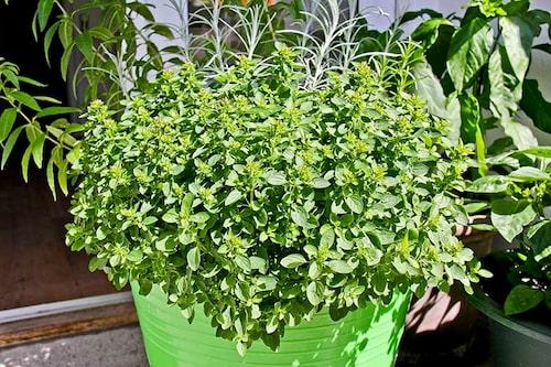 Kungsmynta, oregano, en av våra vanligaste kryddväxter. Mycket lättodlad.