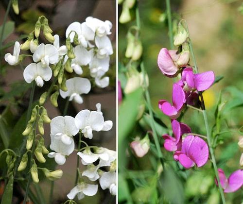 Det finns fler sorter av rosenvial – vita, ljusrosa, rosa och cerise.