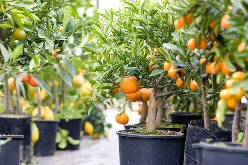 Citrusträd planteras om medan de växter. Använd citrusjord eller blanda din egen jord enligt receptet nedan.