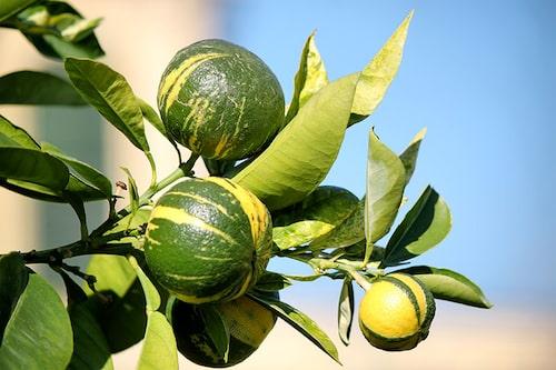 Ovanliga citrusfrukter får man leta efter i nätbutiker.
