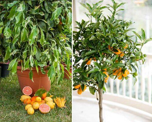 Citrusväxter kan odlas i kruka, och utvecklas bäst utomhus på somrarna. Till höger en oval kumquat.