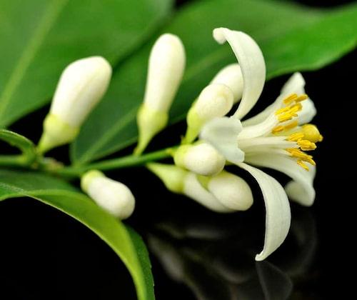 Citrus har blommor och frukter samtidigt. Blommorna doftar ljuvligt inomhus!