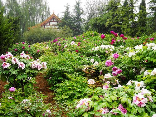 Vackra buskpioner i full blom. Foto: Kjell Furberg