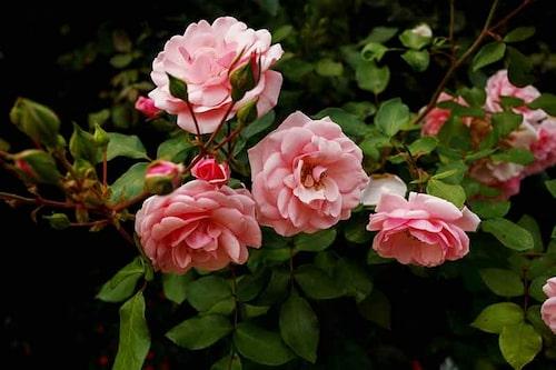 Speciellt rosor, äpplen, plommon, och persika kan drabbas av jordtrötthet.