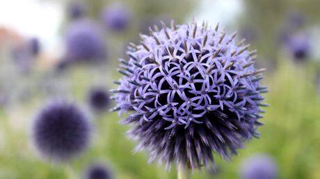 Bolltistel är lättodlad och kan växa i nästan vilken jord som helst, men utvecklas bäst i väldränerad jord och full sol.