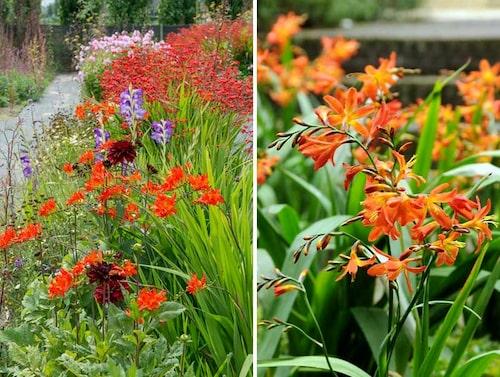 Eldig plantering med röd montbretia och vinröd dahlia. Till höger Crocosmia x crocosmiflora 'Carmine Brilliant'.FOTO: IBulb