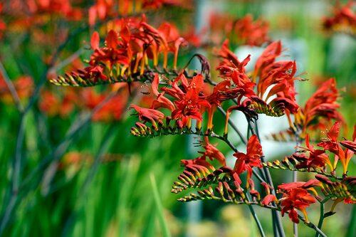 Den populära Crocosmia x crocosmiflora 'Lucifer'. Se till att jorden inte är blöt under vintern och vintertäck gärna. Annars ta upp och vinterförvara lökarna frostfritt.FOTO: IBulb