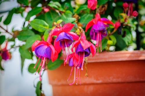 Fuchsia är praktiskt att odla i krukor, då man lätt kan flytta runt dem och det underlättar vinterförvaringen. Undvik terrakotta då de torkar ut jorden snabbare.