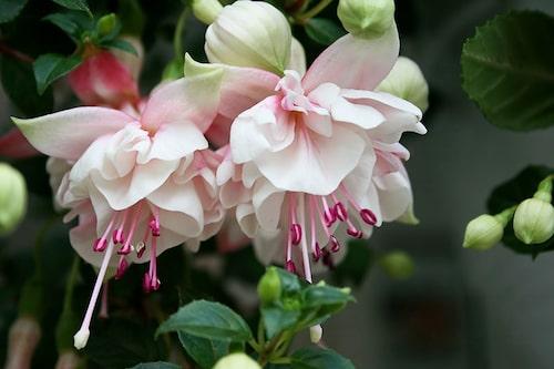 Rensa bort allt överblommat kontinuerligt, så fortsätter fuchsian att belöna dig med nya blommor hela säsongen.