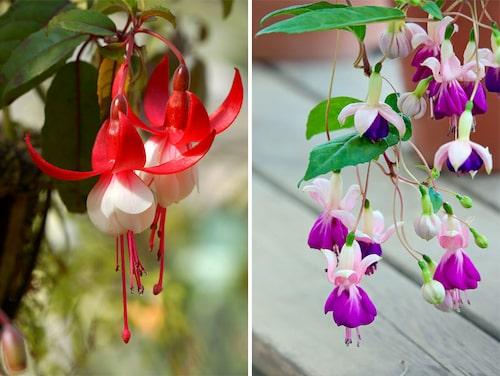 På våren efter övervintringen, vill fuchsian omplanteras i ny jord och ljus. Så skolas de sakta ut när frosten är över. Fuchsia älskar att stå ute!