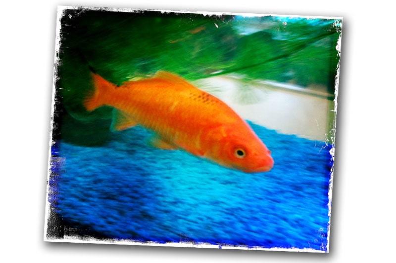 110307-guldfisk namn enzo