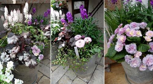 Ljuvliga vårkrukor i lila och rosa toner.