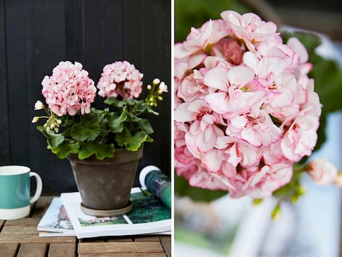 Pelargonen 'Picotee Pink' har cerise kanter som smälter in mot den vita mitten.
