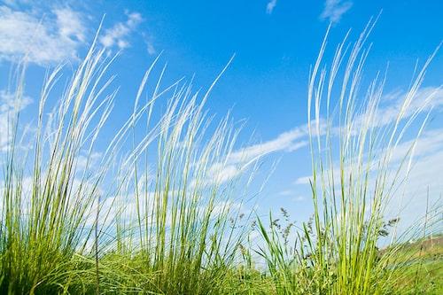Mellanhöga prydnadsgräs: Litet fjädergräs Stipa pennata.