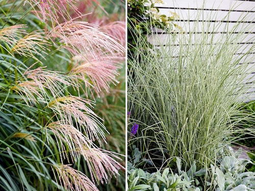 Prydnadsgräs: Glansmiskantus Miscanthus sinensis. Till vänster sorten 'Silberfeder' och till höger 'Morning Light'.