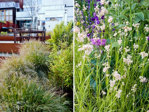Prydnadsgräs: Lampborstgräs Pennisetum alopecuroides till vänster och till höger Silverfryle Luzula nivea.