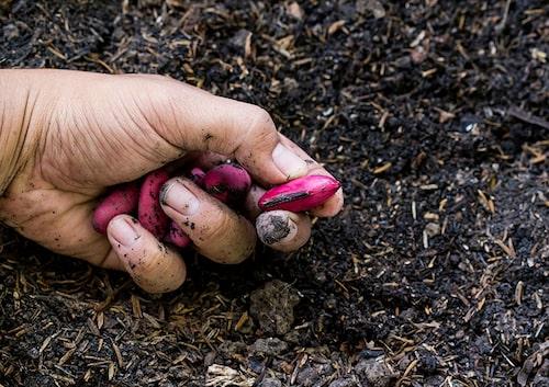 Många grönsaker är lätta att ta fröer ifrån och det är mycket ekonomiskt att samla in fröer från sina favoriter.