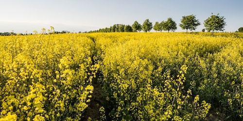 Ser du de gula rapsfälten, då vet du att du är i Skåne. Foto: Anders Tukler