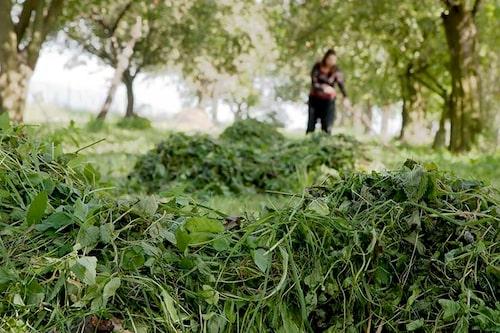 Det mesta växtmaterialet som blir över när vi rensar eller klipper trädgården går att använda som täckmaterial. Man bör vara lite försiktig med rötdelar och fröer.