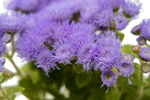 Leverbalsam, Ageratum – en vacker doftande blomma mot mygg.