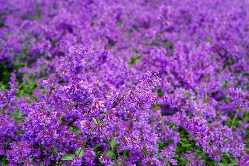 Plantera kattmynta som kantväxt mot myggor.