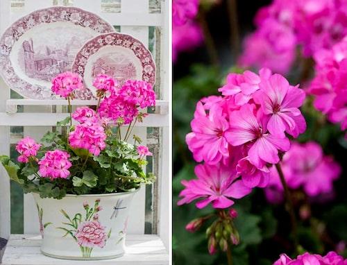 En pelargon med kulturhistoria och rikt färgdjup på blommorna. BILD: Mästergrön