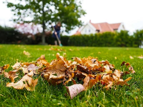 Räfsa inte bort löven från gräsmattan. Låt dem ligga kvar.