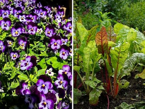 Penséer finns i alla färger och är långlivade om man ständigt klipper bort överblommat. Mangold är en vacker bladgrönsak.