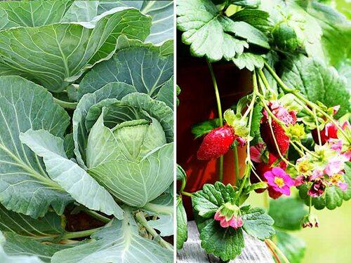 Olika sorters kål ger vackra stora blad i olika nyanser. Det finns jordgubbar speciellt för krukodling.