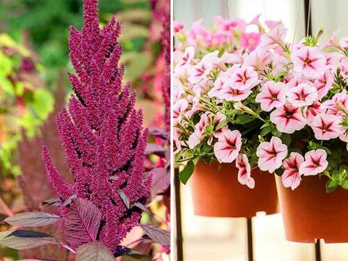 Amaranter är dekorativa och ätliga ettåringar. Petunior finns i alla färger och väller vackert över kanten på krukor.