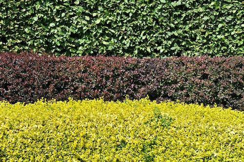Berberis håller formen bra. Det finns även flera vintergröna sorter.