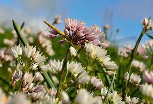 Kvicklök, Allium roseum, är en ljuvligt rosa lökväxt.