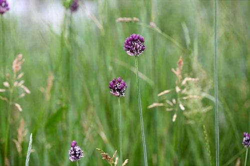 Skogslök, Allium scorodoprasum, har små blommor och bulber på tunna höga strån.