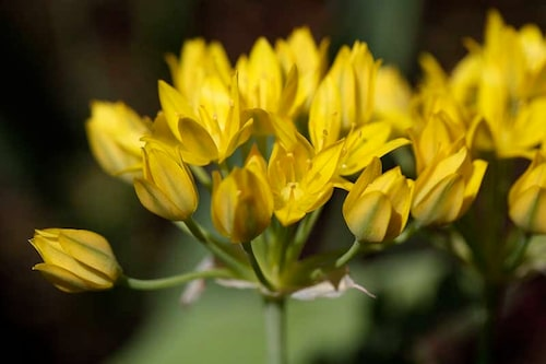 Guldlök Allium moly, en blomsterlök med gula blomflockar.