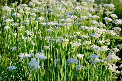 Kinesisk gräslök, Allium tuberosum, har jättefin arom och odlas som gräslök.