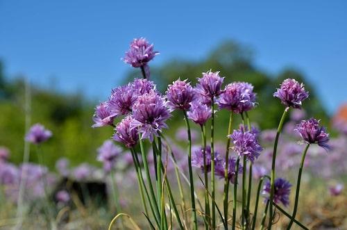 Gräslök, Allium schoenoprasum, har rymt från våra köksträdgårdar.