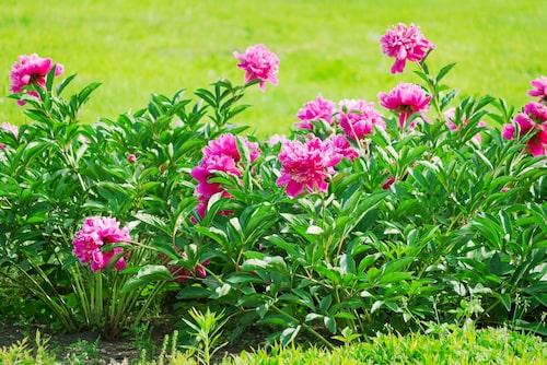 Pioner vill ha en solig växtplats i väldränerad jord.