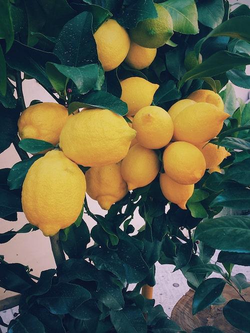 Tips! Din citronplanta behöver mycket ljus och jorden ska ständigt vara fuktig. Beskär bladen om de skulle bli angripna av ohyra.