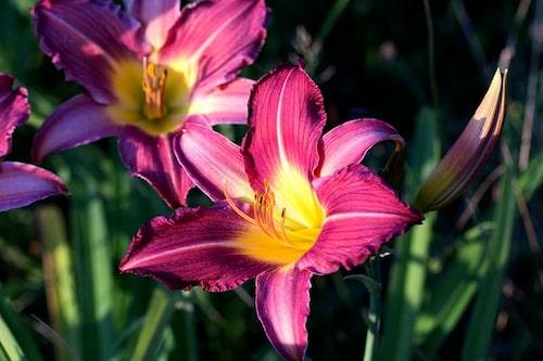 Dagliljor är inte liljor, så du slipper gisslet med liljebaggar och kaniner som gnager.