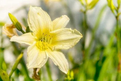 Flytta inte runt dagliljor! De blir stressade när de flyttas och då kan det dröja innan blommor utvecklas. Man får ha lite tålamod.