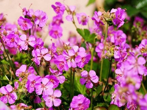 Flocknävan 'Karmina' blommar tacksamt och ymnigt i skuggigare läge. De gillar inte uttorkning, och trivs i woodland.