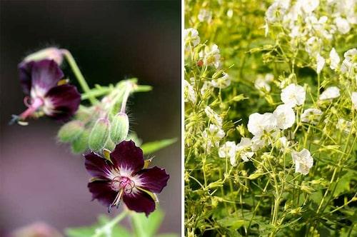 Brunnäva blir hög och ängslik. Det har mörka blommor, några sorter nästan chokladbruna, men det finns även lila och vita sorter. De är lätta att föröka genom delning.