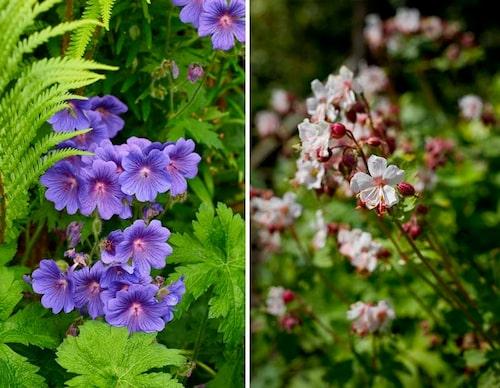 Man kan klippa ner nävor när de blommat över eller när de ser risiga ut, så blommar de om igen. Här syns sorten 'Johnson's Blue' och 'Spessart'.
