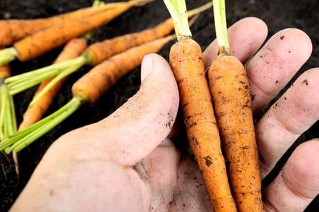 Morötter hinner utvecklas till stor del innan de blir stressade av att det inte är så mycket sol.