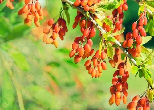 Koreansk berberis är en dekorativ buske med ätbara syrliga bär.