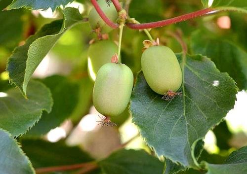 Det krävs både hon- och hanplantor för att få minikiwi. Även om självfertila sorter finns, får man större skörd att komplettera med en hanplanta.