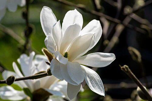 Hybridmagnolian 'Merrill' är bland de härdigare magnoliorna och hinner oftast inte med att få frostskador på blommorna.