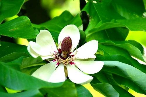 Junimagnolia doftar ljuvligt och ser exotisk ut med sina jätteblad och stora äggvita blommor.
