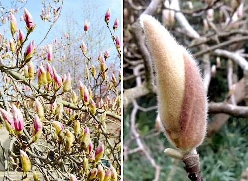 De flesta magnolior har fina ludna blomknoppar, som liknar videkissar men större.